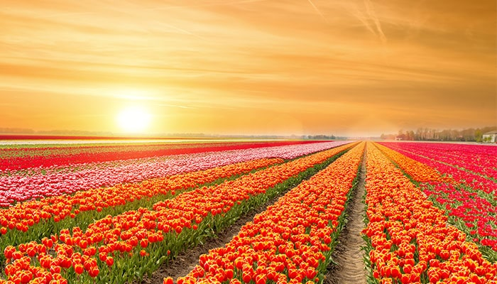 tulip fields holland